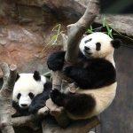 8 Fakta Hewan Panda Yang Perlu Anda Ketahui