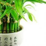 Tanaman Bambu Hoki (Bambu Rezeki), Tanaman Fengshui Pembawa Keberuntungan dalam Rumah : Bagaimana Cara Merawatnya?